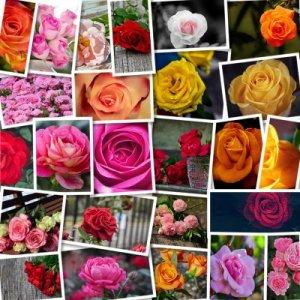 Качественные фотографии роз